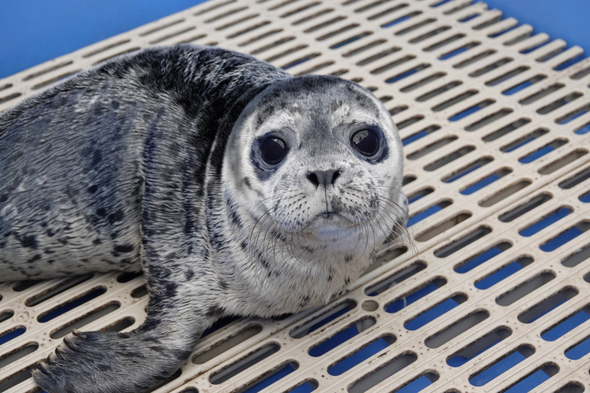 Adopt Seal-ine Dion