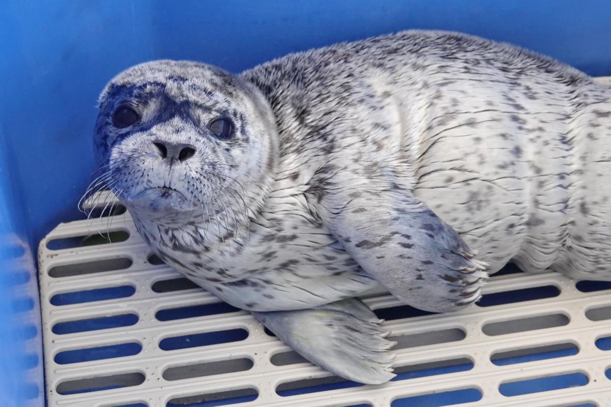 Adopt Lou-seal Ball