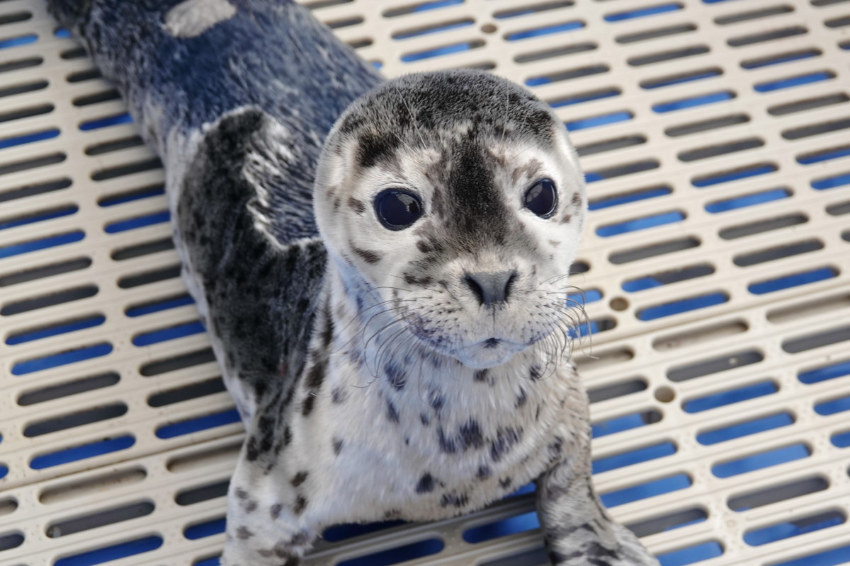 Pv2052 Cute Seal Marine Mammal Rescue Centre